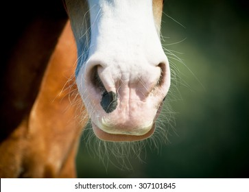 Clydesdale horse nose with mustaches closeup