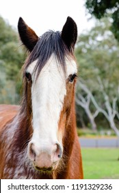 Clydesdale horse portrait, head shot, front on view
