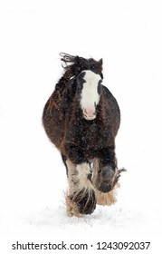 Clydesdale horse running in the falling snow in winter in Canada