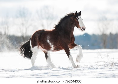 Clydesdale horse runs gallop on a snowy field in winter