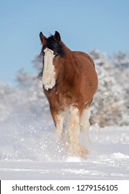Clydesdale Horse in Snow