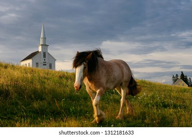 Clydesdale horse walking in field at sundown at Highland Village Museum at Iona Cape Breton