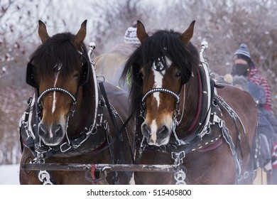 Clydesdale horses Drawn Sleigh Rides in winter