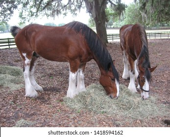 Clydesdale Horses Grazing at Grand Oaks Resort, Florida