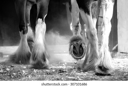 Clydesdale horses legs detail monochrome