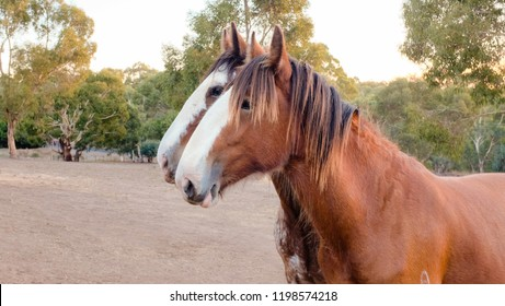 Clydesdale horses, portrait side view