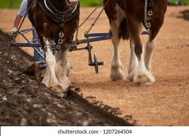 Clydesdale horses pulling an old plough