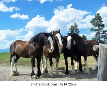 Clydesdale horses resting together