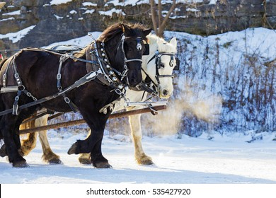 Clydesdale horses in winter