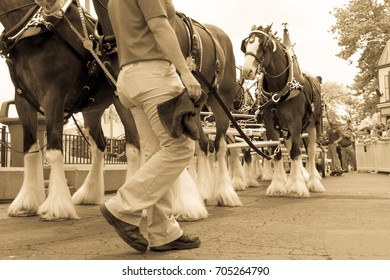 Clydesdale Horses and Worker