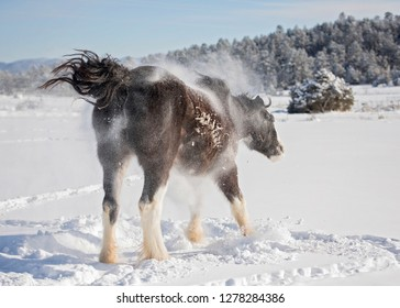 Clydesdale Shaking Off Snow