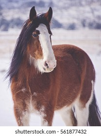 Clydesdale Snow