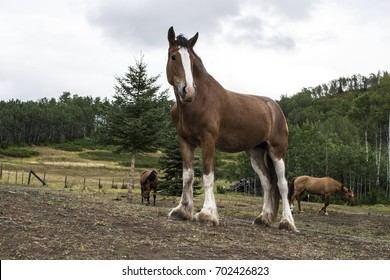 Clydesdale standing in the field.