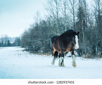 Clydesdale take a long walk to the barn during an Alberta snow storm
