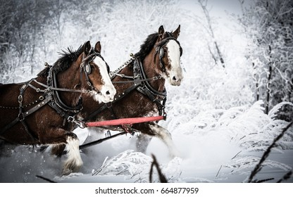 Clydesdale Team in Snow