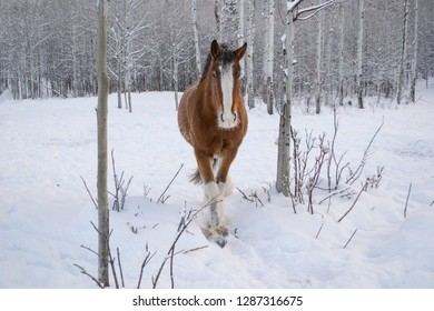A clydesdale walking through fresh snow.