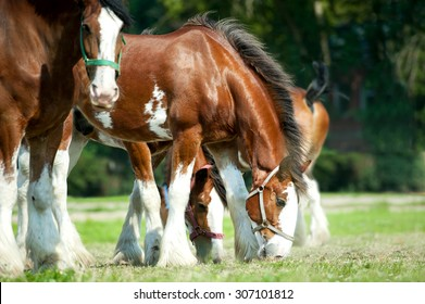 Clydesdales horse horses grazing on pasture
