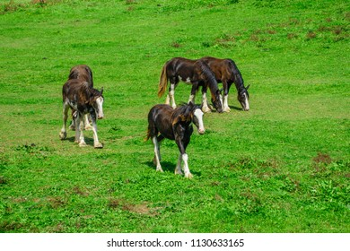 Clydesdale's in the paddock
