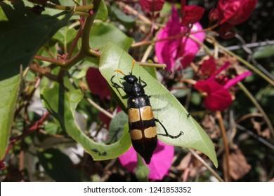 CMR Bean beetle, South Africa, Mylabris oculata