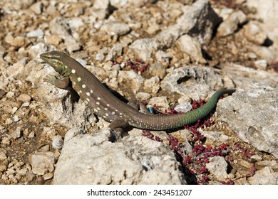 Cnemidophorus, Female Curacao Whiptail Lizard