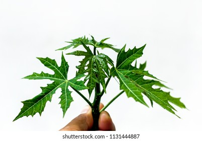Cnidoscolus chayamansa(chaya, tree spinach,chicasquil,chay) Mexican kale is a leafy vegetable in hold hand with white background.serration leaf of chaya plant in tropical home garden.Selective focus.