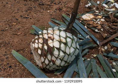 The coa agavera is stuck in the agave pineapple.
