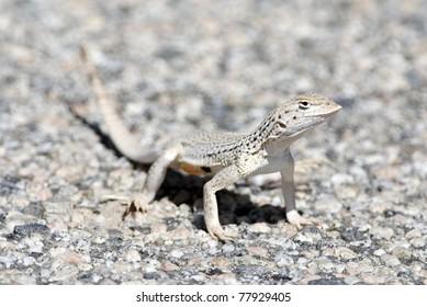 A Coachella Valley Fringe-toed lizard.