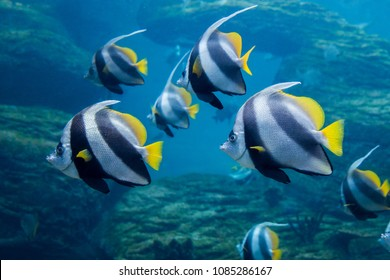 Coachman (Longfin bannerfish) swimming underwater with reef in background