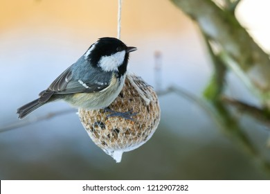 Coal tit bird on nuts seeds in meshed bag. Small passerine in grey black on suet treat feeder during winter in Europe (Periparus ater)