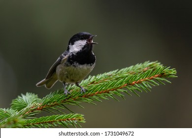 Coal tit (Parus ater) a cute songbird singing form a pine branch. Small bird with black and white head in a dark forest. Wildlife scene from nature. Czech Republic