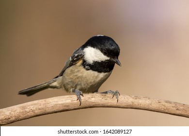 Coal tit (Periparus ater) or cole tit, black-crested tit, very small bird in family Paridae. Tiny bird with white nape spot on its black head, white striped tit