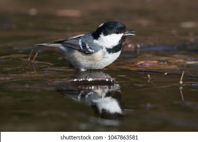Coal tit (Periparus ater) at an ice hole in the forest in winter (the Netherlands)