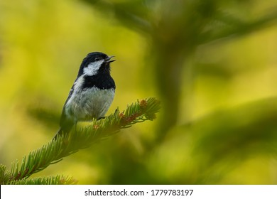 Coal tit (Periparus ater) sitting on a pine branch and singing. Small songbird in the forest. Detailed portrait with soft green background. Wildlife scene from anture. Czech Republic