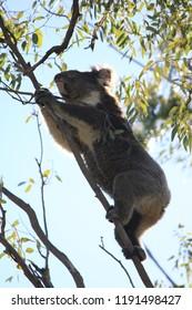 coala outback australia