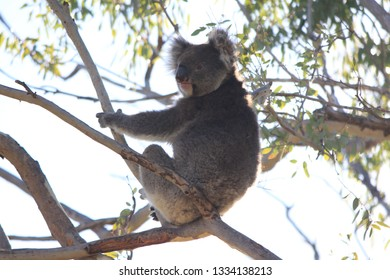coala sitting on tree, one hand, australia