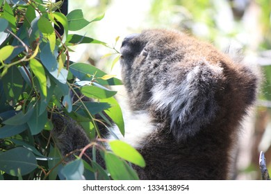 coala sitting in tree, eating eucalyptus, australia, oz