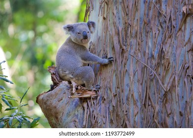 Coala in tree