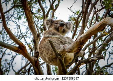 coala in tree in australia