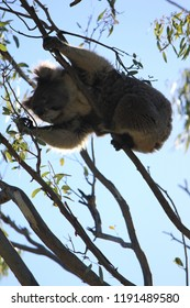 coala in tree eating