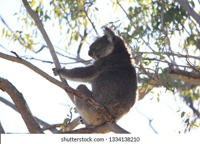 coala in tree, western australia