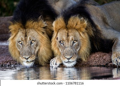 Coalition of two brothers.  African wild lions at a drinking hole. Addo National Park, South Africa