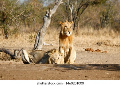 Coalition of two young male lions panthera leo at a waterhole drinking water after an unsuccessful hunt