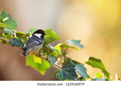 Coaltit on ivy