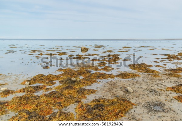 Coast covered with seaweed fucus on the Solovetsky Islands