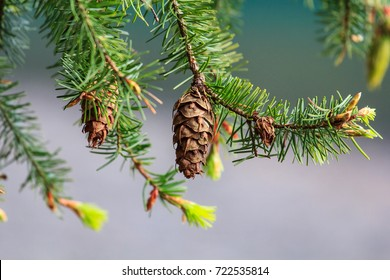 Coast Douglas fir or Oregon pine tree cone and needles