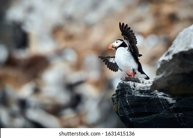 The coast of the island of Hornoya in Norway from which the North Papuchalk takes off. Atlantic puffin (Fratercula arctica), also known as the common puffin. Bird in natural habitat.