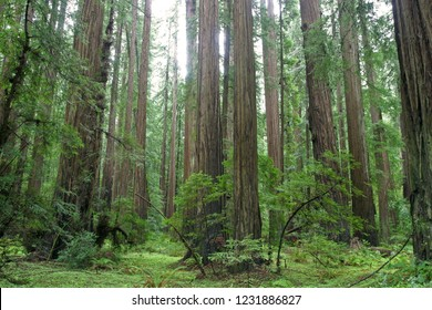 Coast redwood (Sequoia sempervirens), Humboldt Redwoods State Park, California, USA