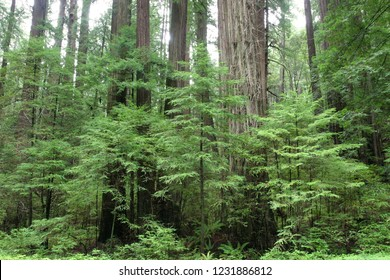 Coast redwoods (Sequoia sempervirens), Humboldt Redwoods State Park, California, USA