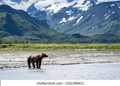 A coastal Alaska brown bear wanders in the river, looking for salmon in Katmai National Park. Mountains in the background.