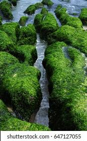 Coastal algae reef, covered with green seaweed